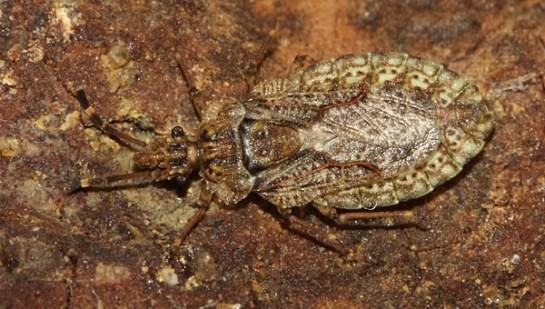 A. obtectus