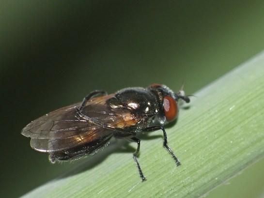 L.metallina