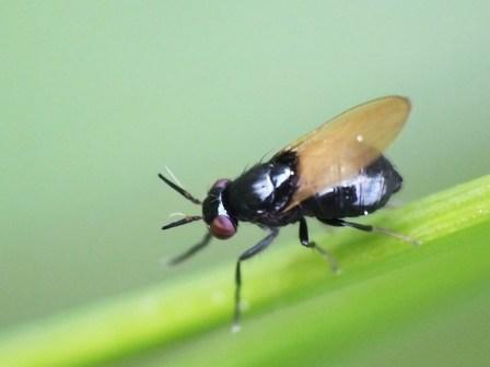 L cylindricornis