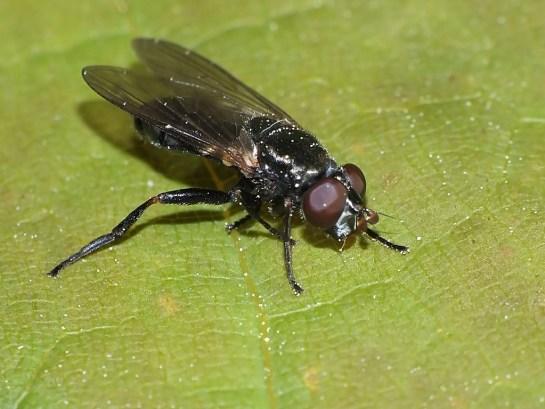 L.ruficornis