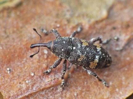 P.castaneus