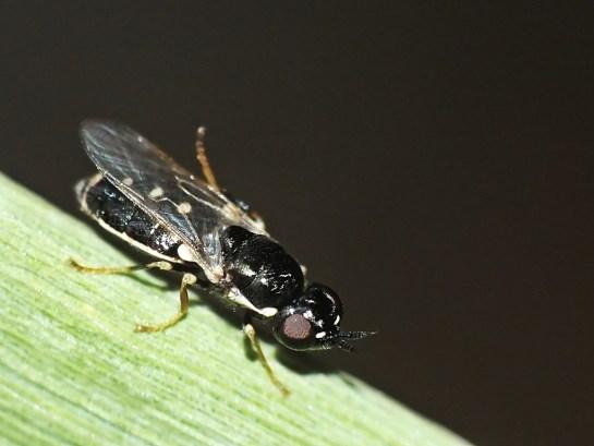 N.uliginosus female