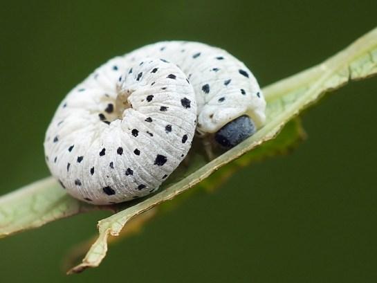 T. scrophulariae larva