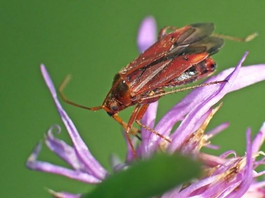 A.ticinensis