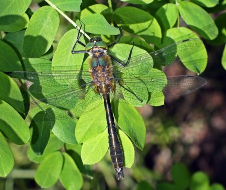 C.aenea male