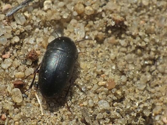 C.quisquilius