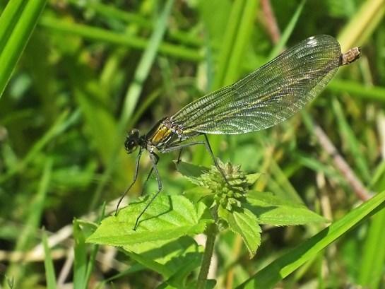 C. splendens female
