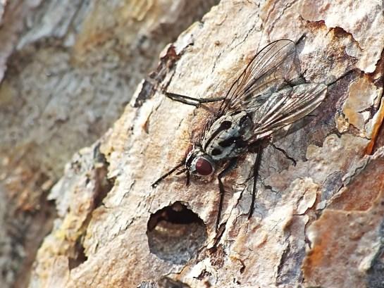 Eustalomyia