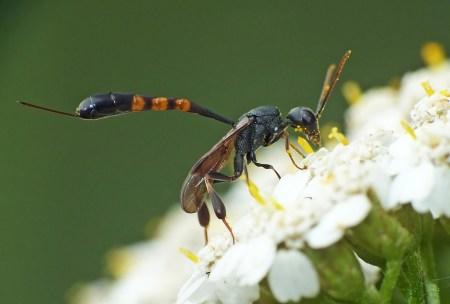 Gasteruptuion species