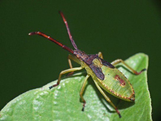 Gonocerus nymph