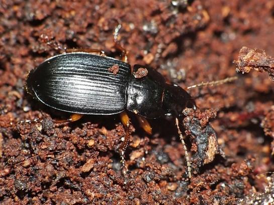 H.affinis