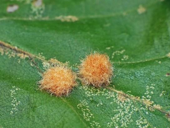 H.annulipes
