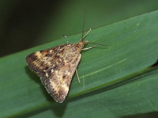 P.despicata