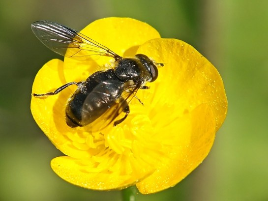 P. noctiluca
