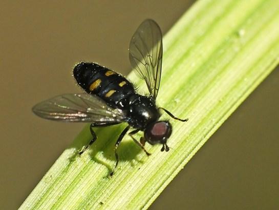 P.quadrimaculata