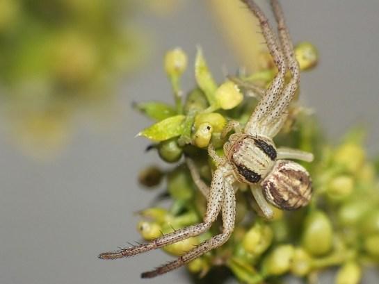 X.striatipes