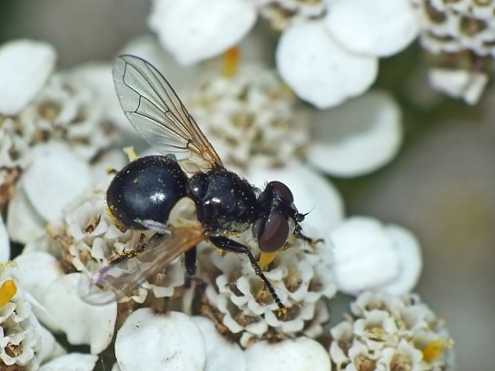 cistogaster