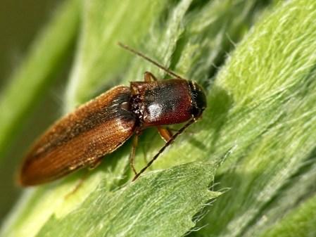 D.marginatus