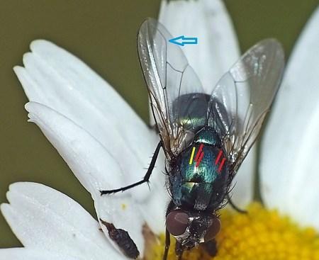 Niebieska strzałka wskazuje lagodnie wygięta żyłkę M1. Na czerwono zaznaczyłem szczecinki postsutural intra-alar, żółta linia imituje szczecinkę anterior intra-alar, nieobecną u Pyrellia, ale występująca u Eudasyphora