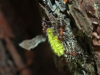 Przedbórz 20.05.2016 Gąsienica niezidentyfikowanego gatunku eksortowana przez mrówki rudnice