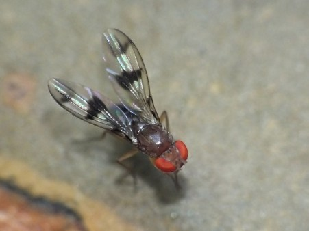 Chymomyza