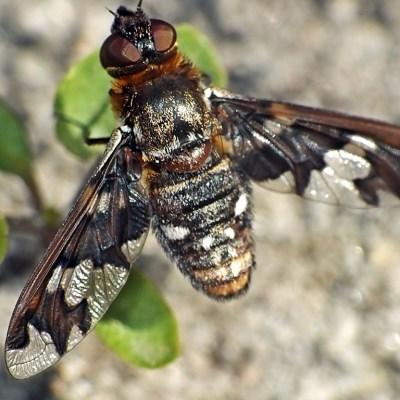 Bujanka Exoprosopa capucina
