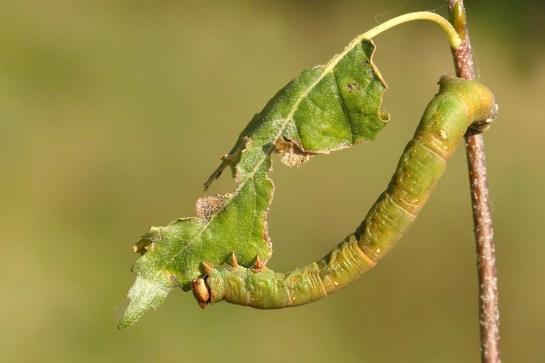 B. betularia