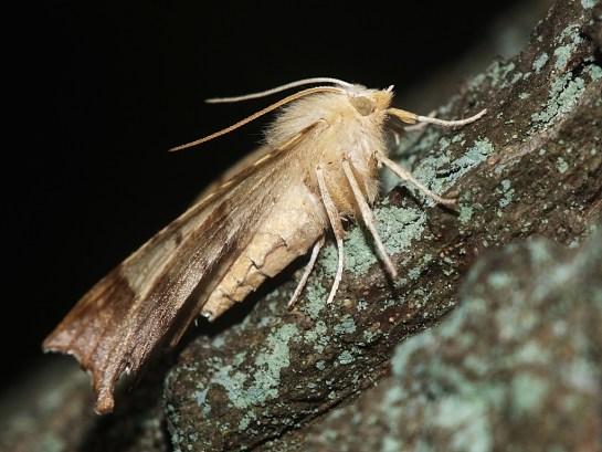 E.quercinaria