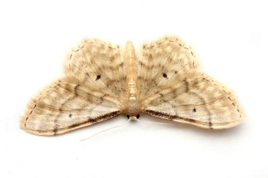 I.fusconevosa