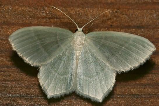 J.lactearia