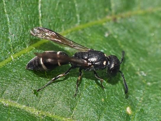 M.exilis