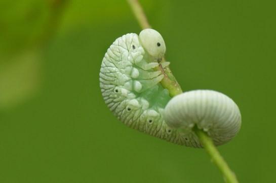 Cimbex larva