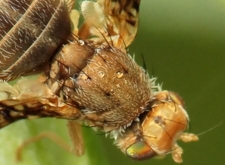 Ox. parietina thorax