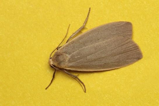 E. griseola