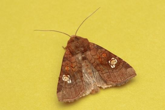 A.oculea
