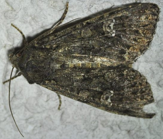 M.brassicae