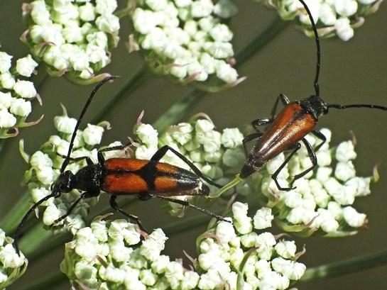 S.bifasciata