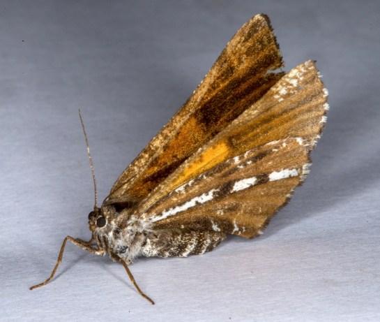 B.piniaria