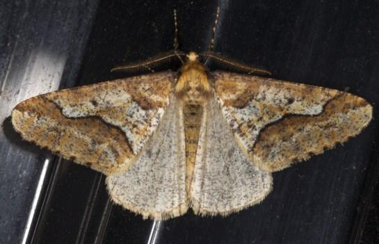E.defoliaria