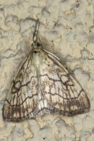 E.pallidata