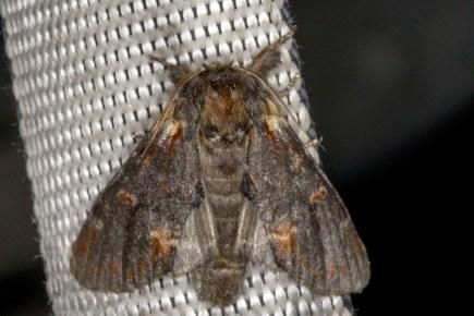 N.dromedarius