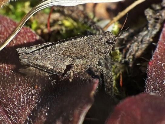 T. bipunctata