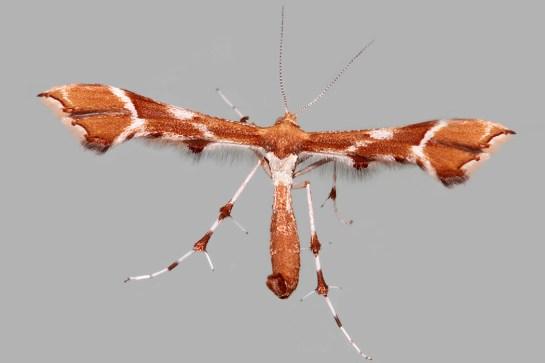 C rhododactyla