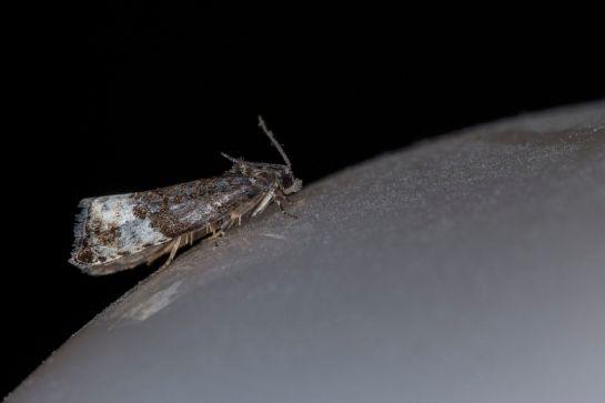H.nubiferana