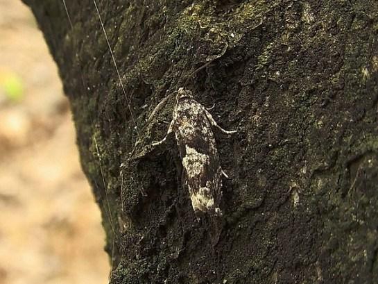 P.argyrana
