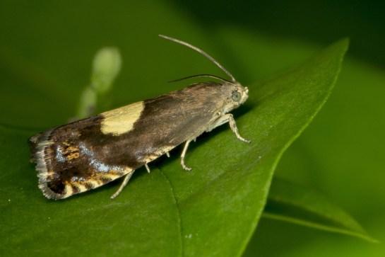 P.trauniana