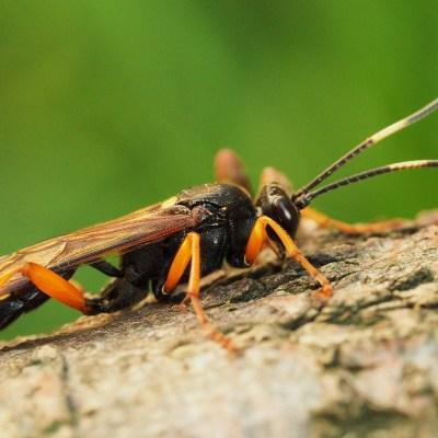 Diphyus quadripunctorius (Ichneumonidae)