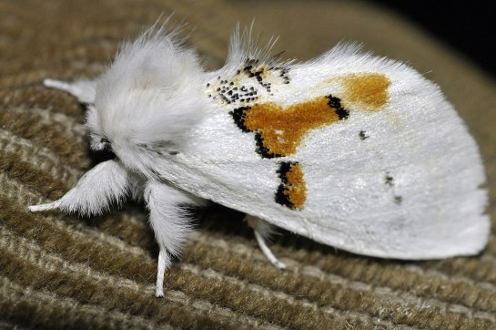 Leuc. bicoloria