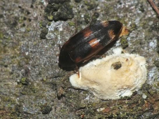 O.fasciata