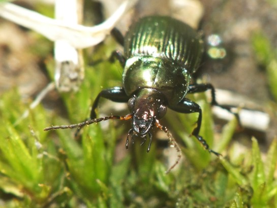 P.cupreus
